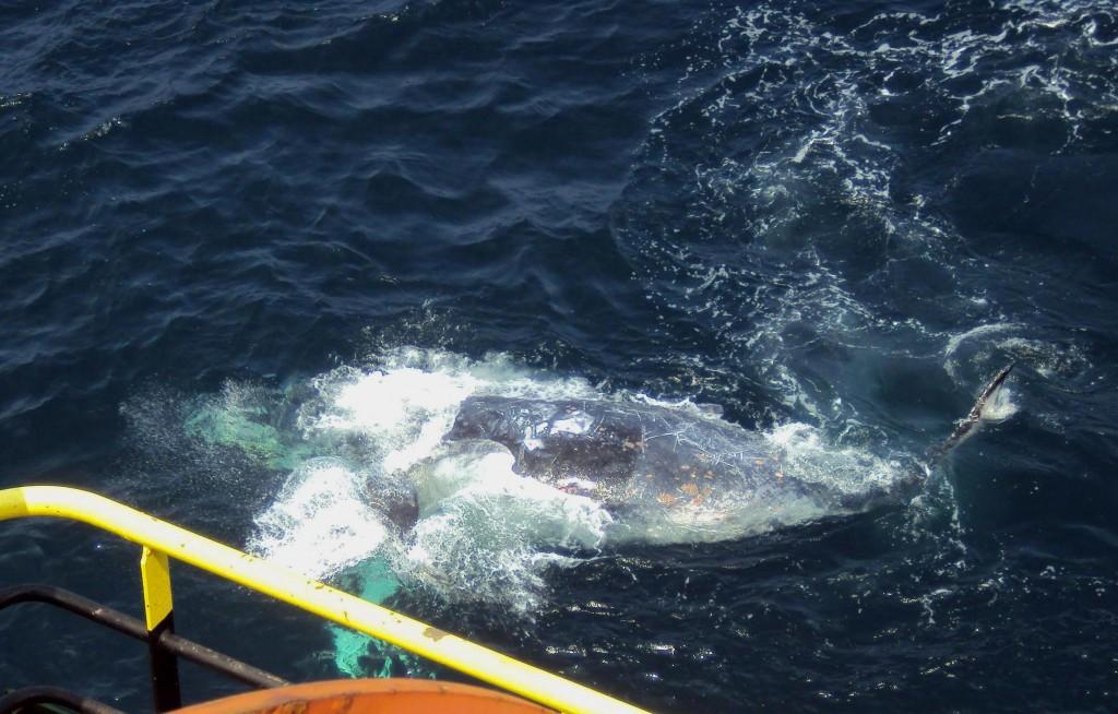 Cam atit de tare s-a apropiat balena de nava. Daca cineva s-ar fi aplecat peste balustrada, sa vomite, ar fi stropit-o